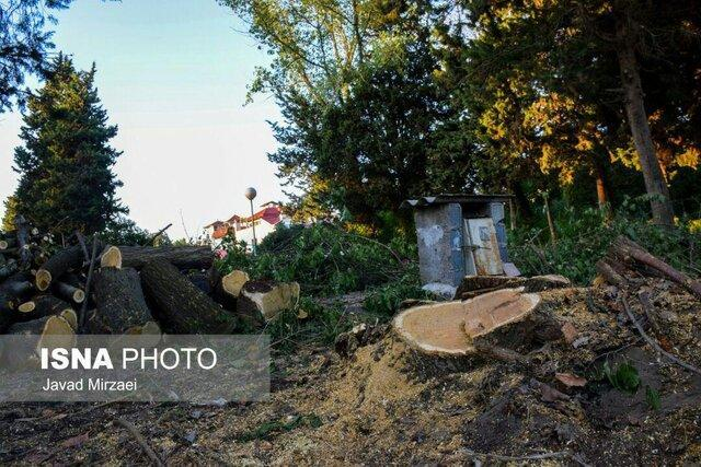 قطع درختان بالای 50 سال به جای نیزار در بابلسر