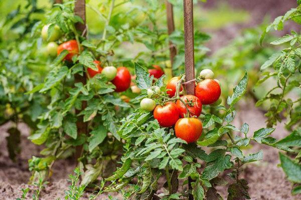 گوجه فرنگی ارزان می گردد