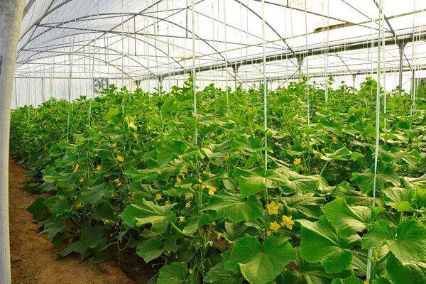 حمایت و سرمایه گذاری پیشران توسعه گلخانه ها است ، نگاه مثبت اصفهان به توسعه کشت گلخانه ای