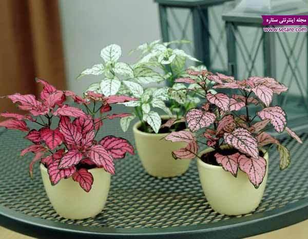 تکثیر گل سنگ به روش قلمه زدن و کشت بذر
